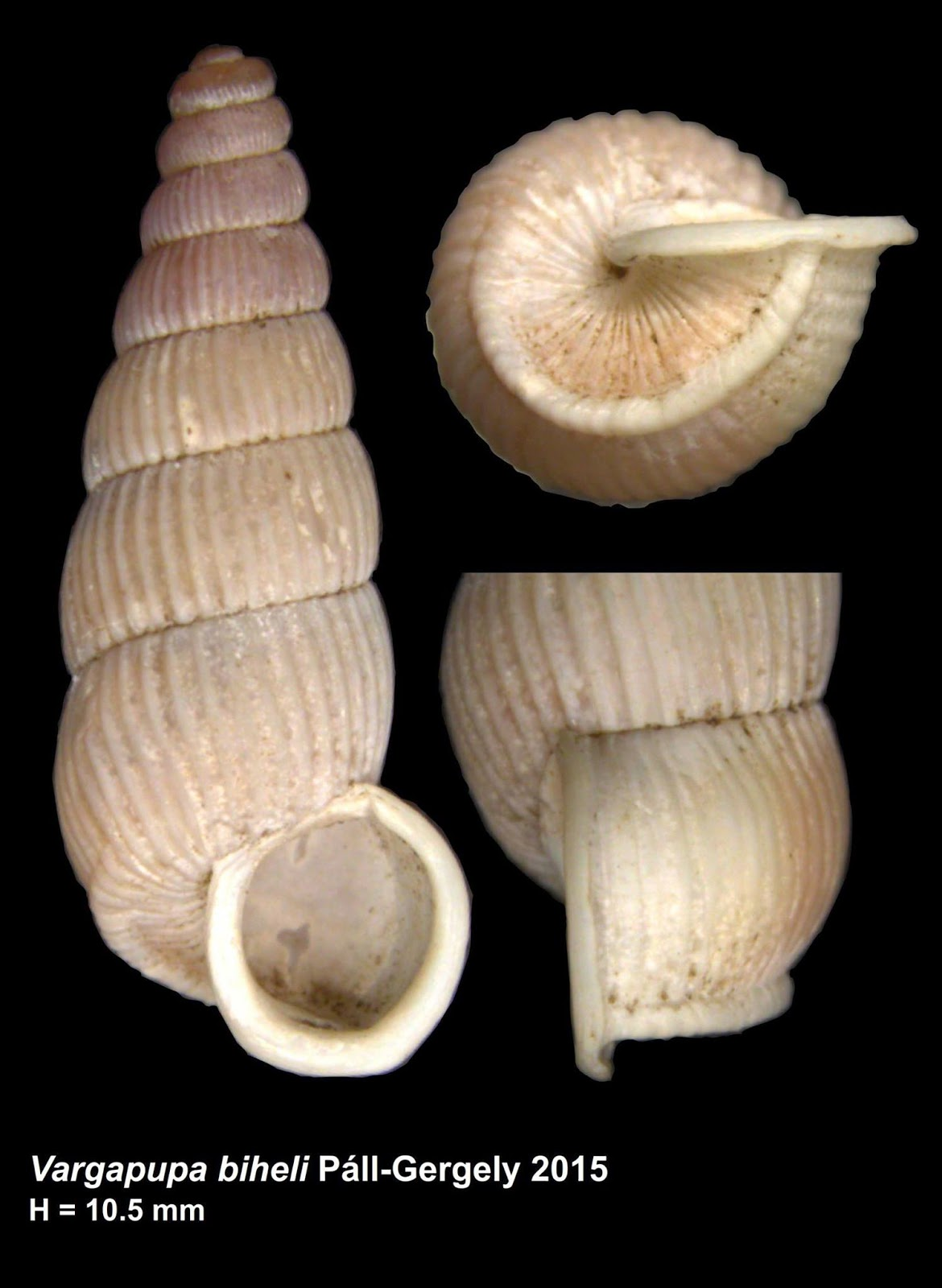 one full and two dissected shells, in a light cream color against a black background