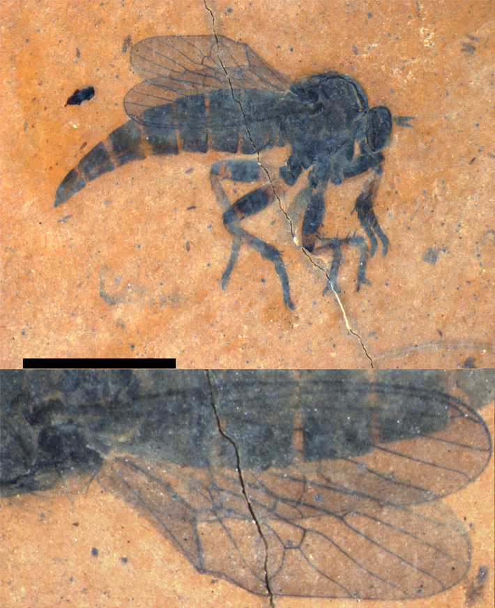 a black fossilized fly preserved in orange amber.