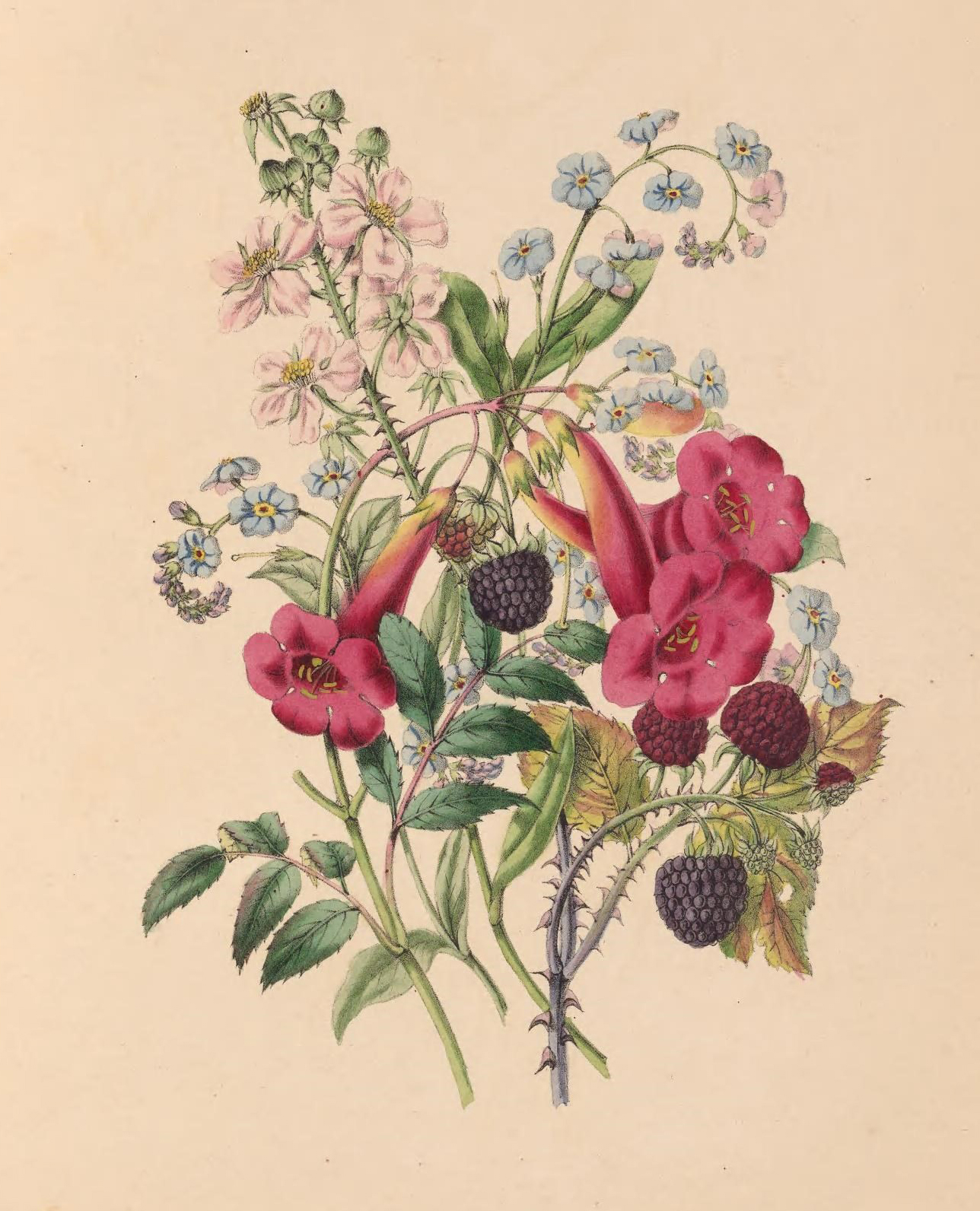 Trumpet.-flower, Forget-Me-Not, and Raspberry.