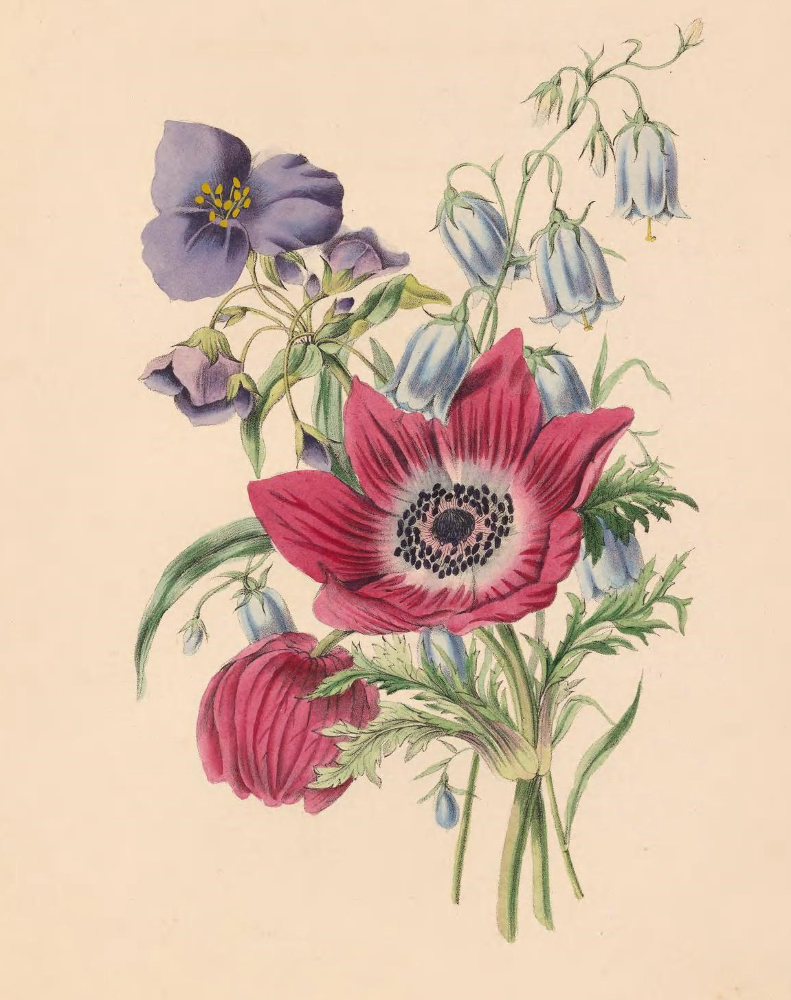 Anemone, Harebell, and Spiderwort.