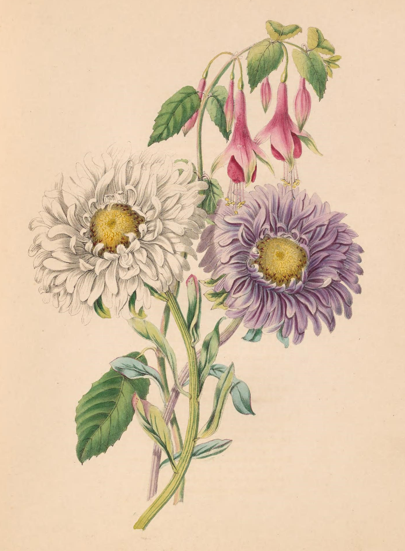 China-Aster and Fuchsia.
