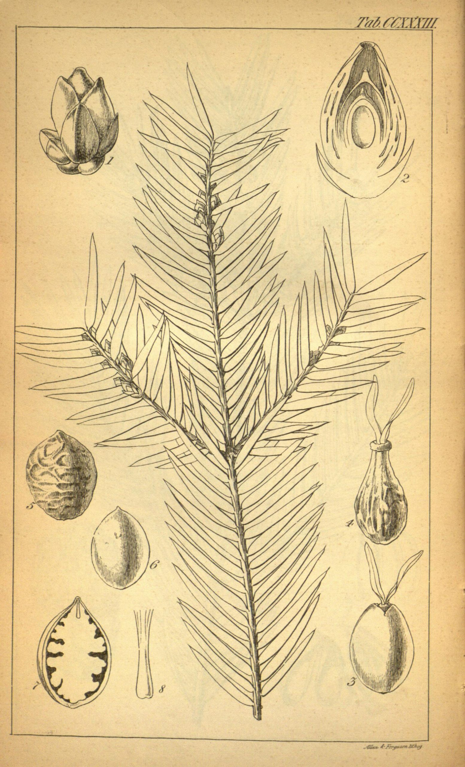 Black and white line drawing of a conifer tree branch with cones.