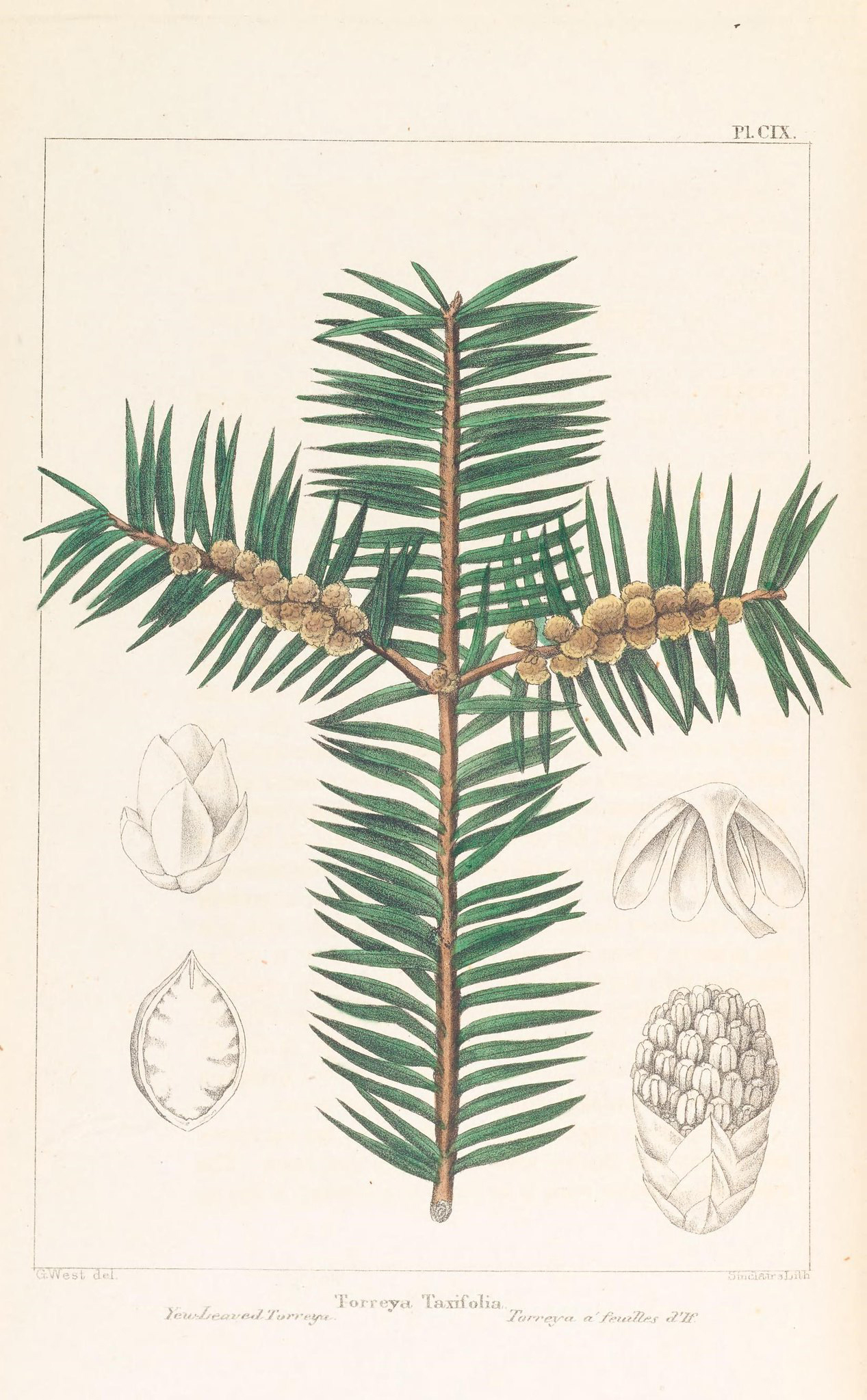 Colored drawing of a conifer tree branch with cones.