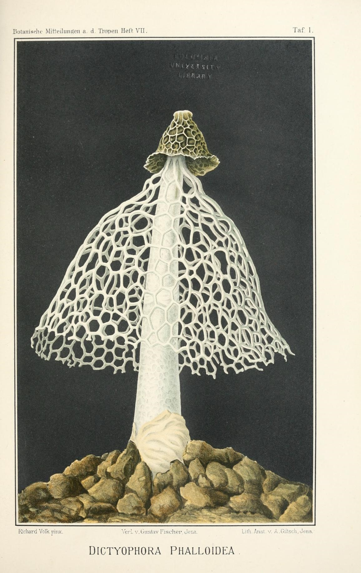 illustration of fungi with an indusium.