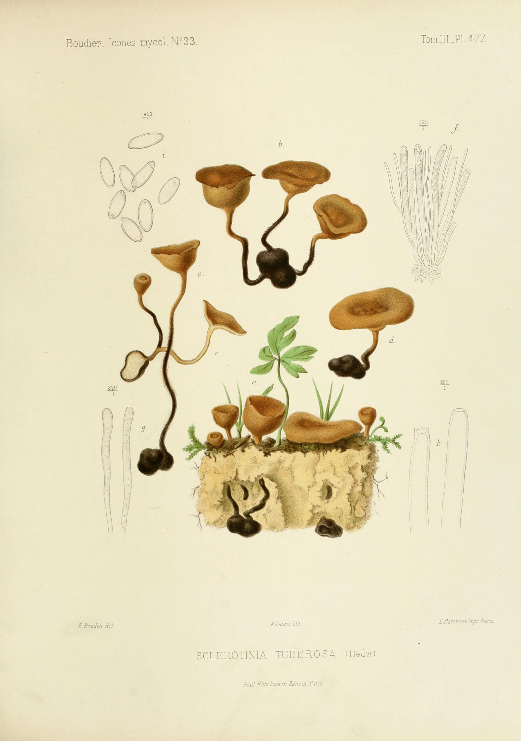 Illustration of fungi.