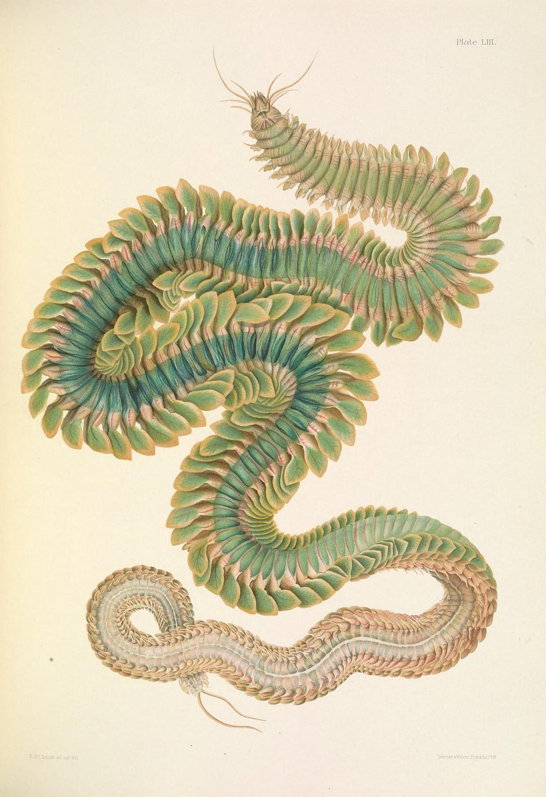 Illustration of a green annelid worm.