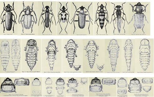 Cerambycidaes: adult insects with their larvas and pupas.