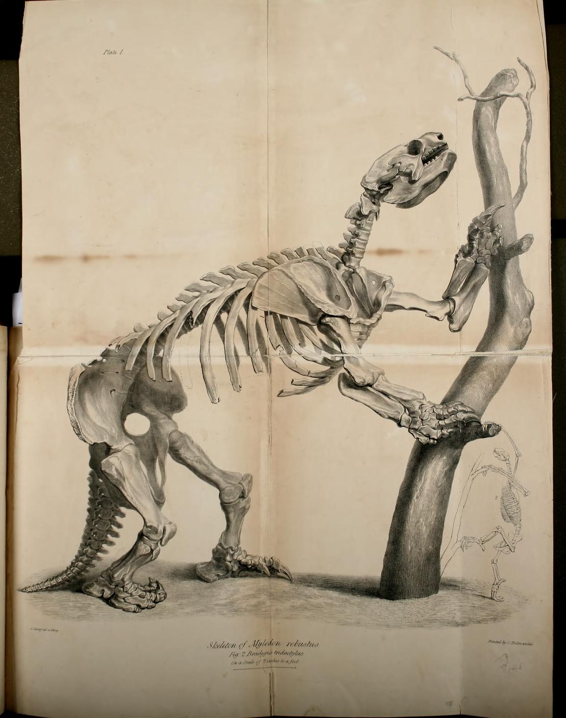 Side-view of the skeleton of the Mylodon robustus