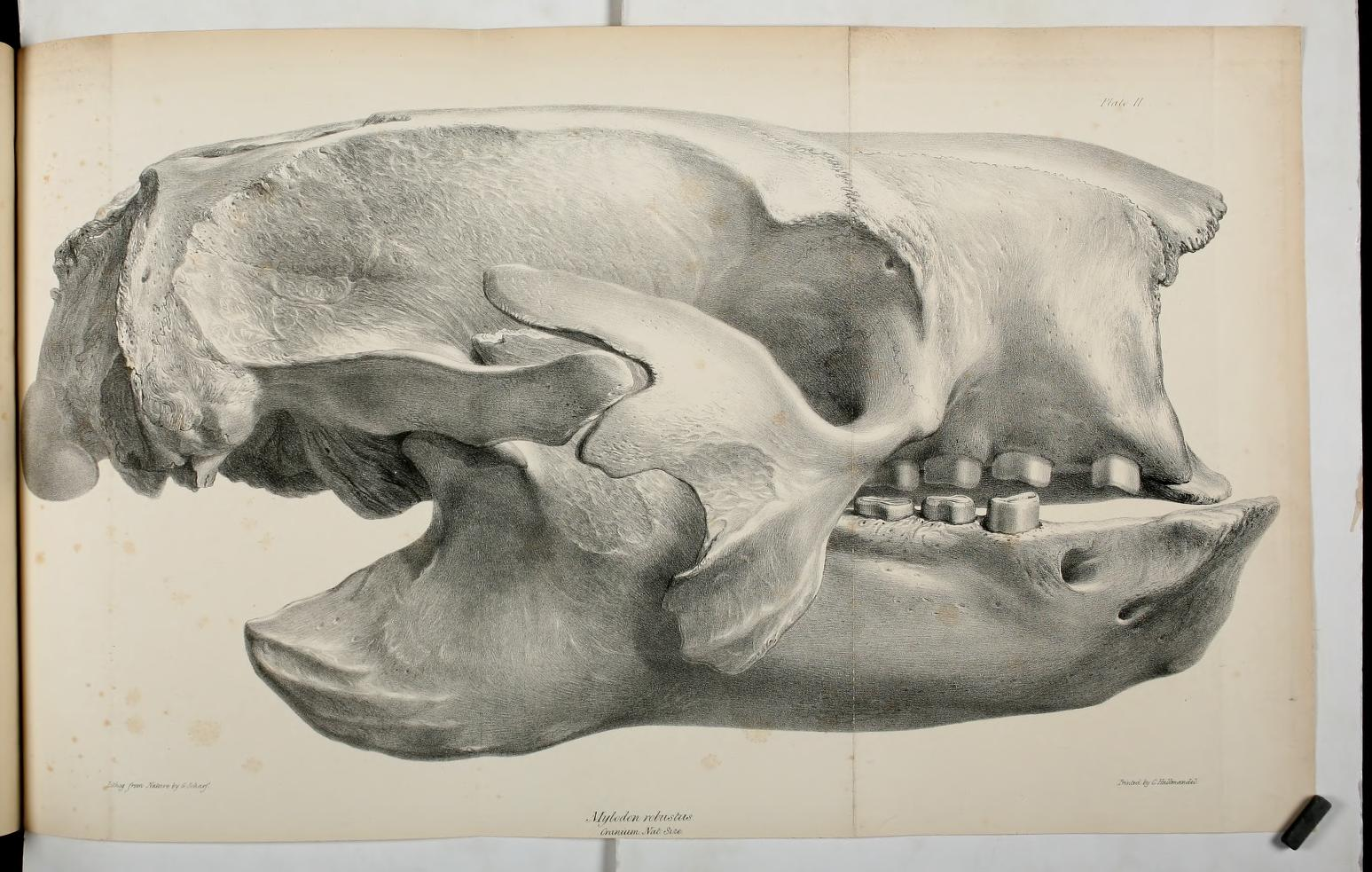 Side-view of the skull of the Mylodon robustus, natural size