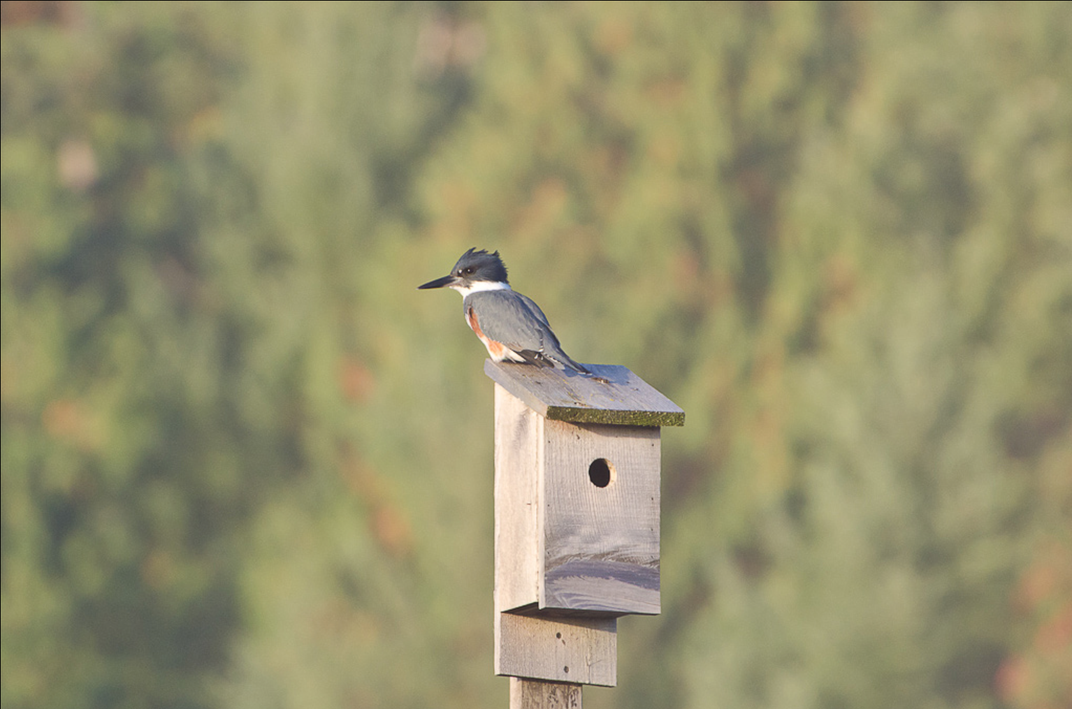 A blue and white bird sitting on a birdhouse roof with a background of trees.