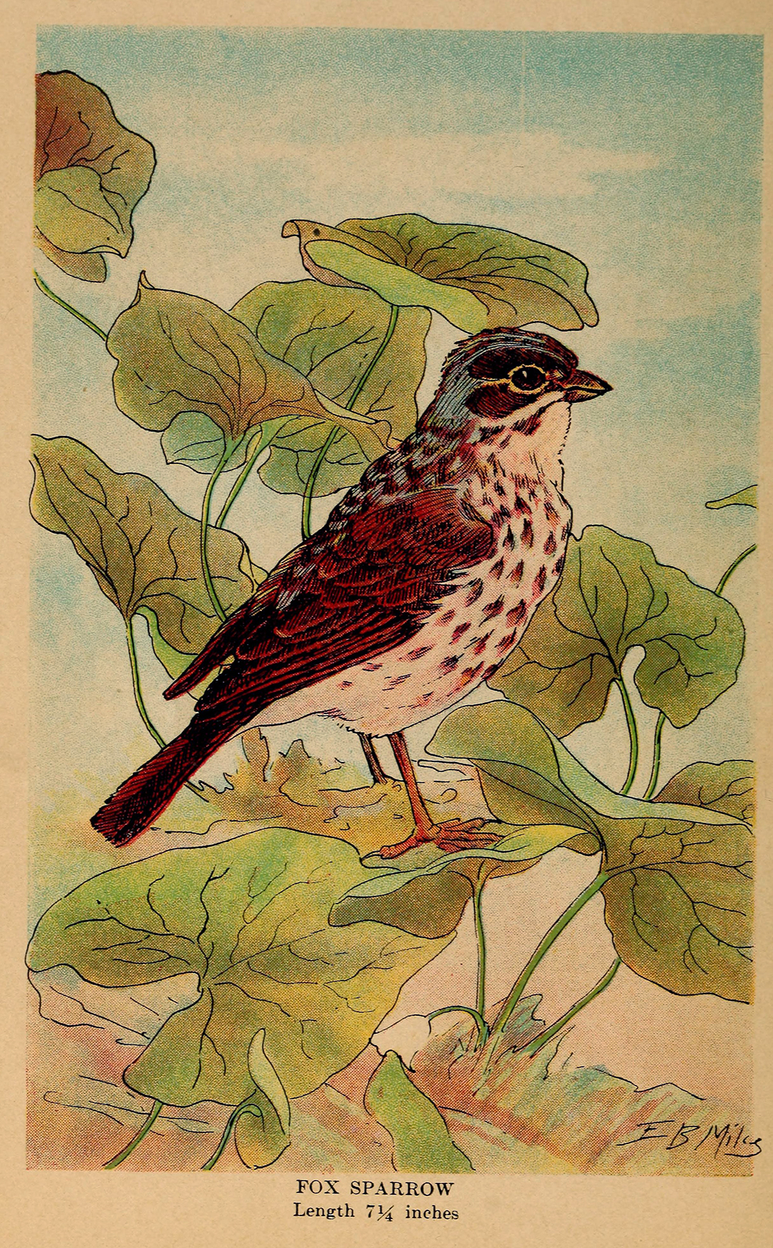colored illustration of a bird, fox sparrow, brown with blue head and cream belly sitting on branch with green leaves
