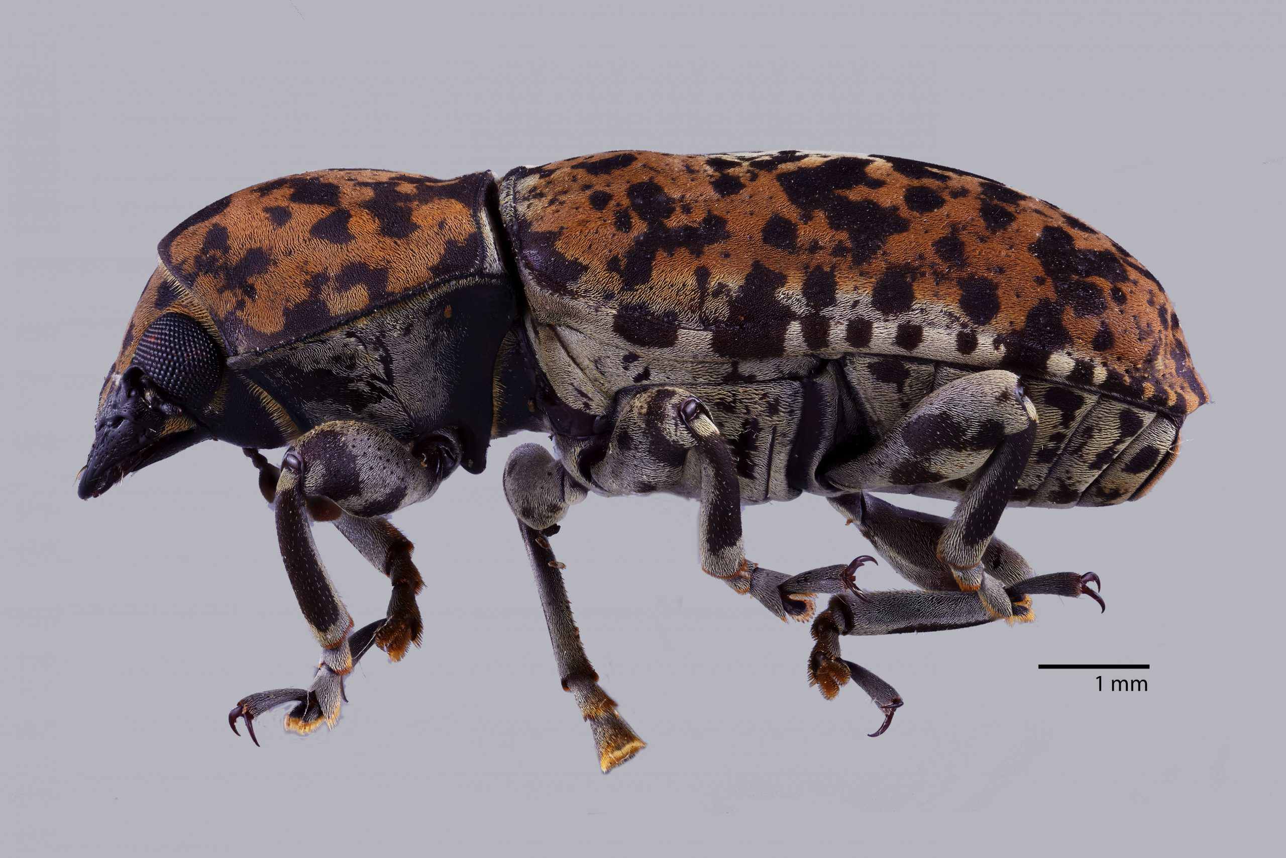 A weevil with orange body and black spots.