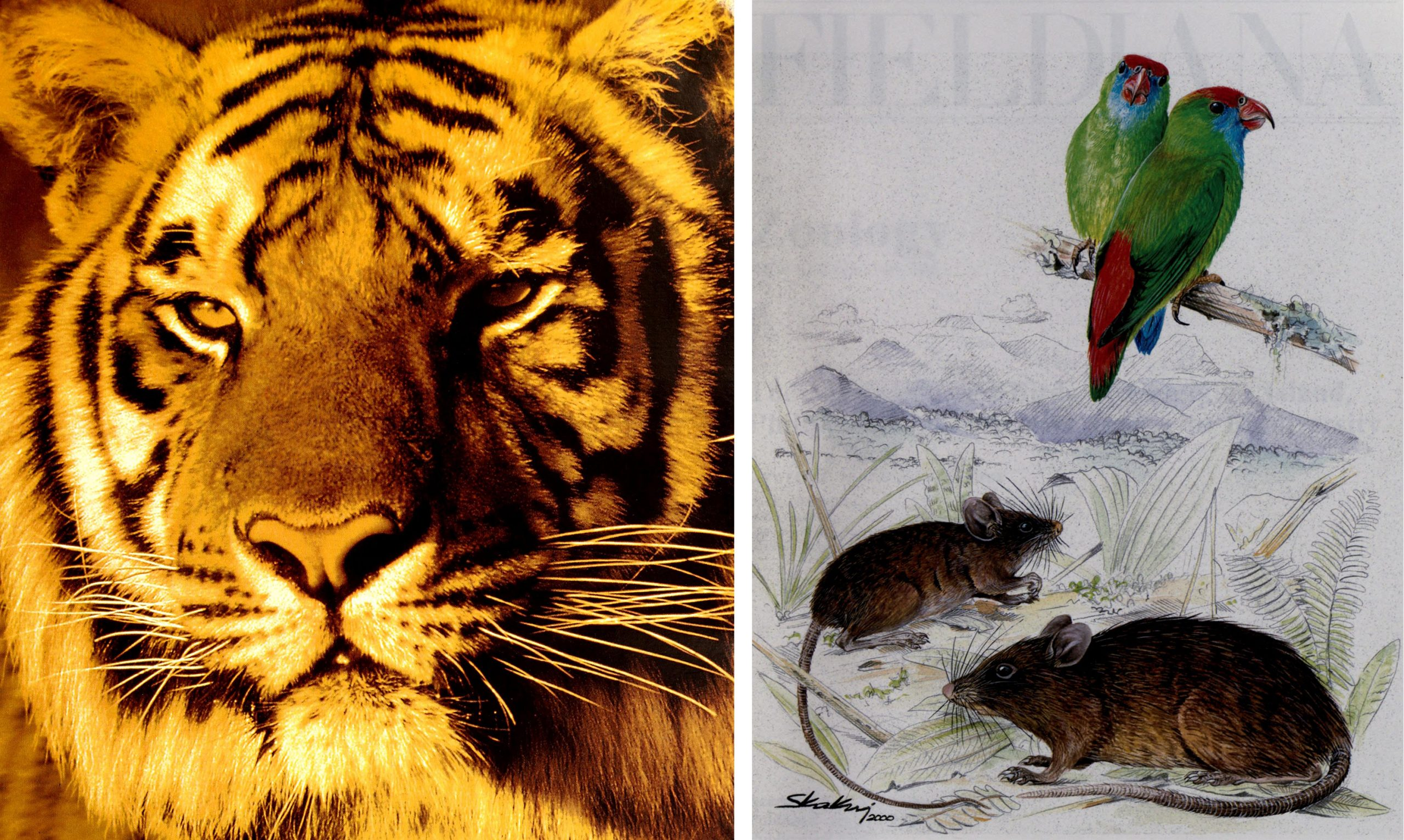 photo of a tiger and illustration of green and red birds and brown rodents