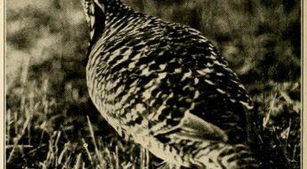 black and white photo of a bird, the heath hen