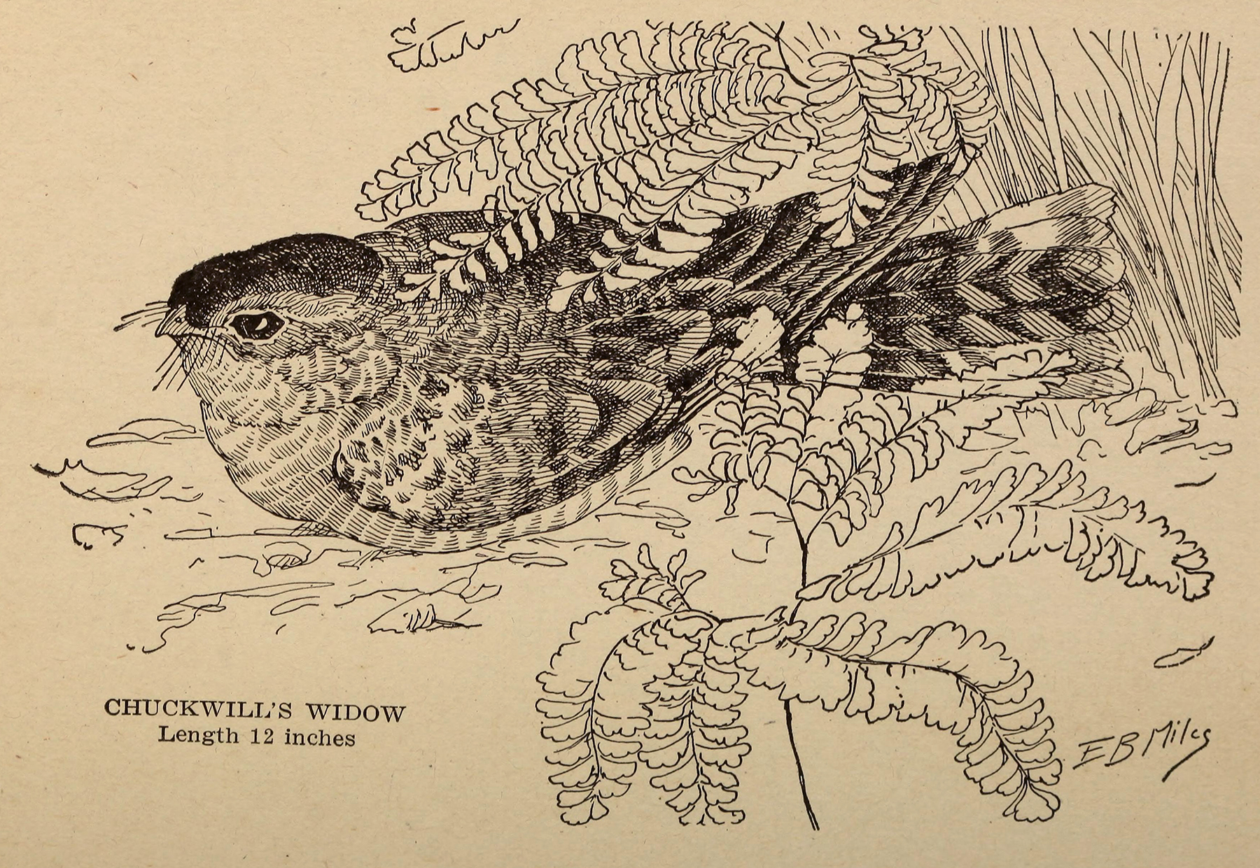 black and white illustration of a bird, chuckwill's widow, hiding within foliage