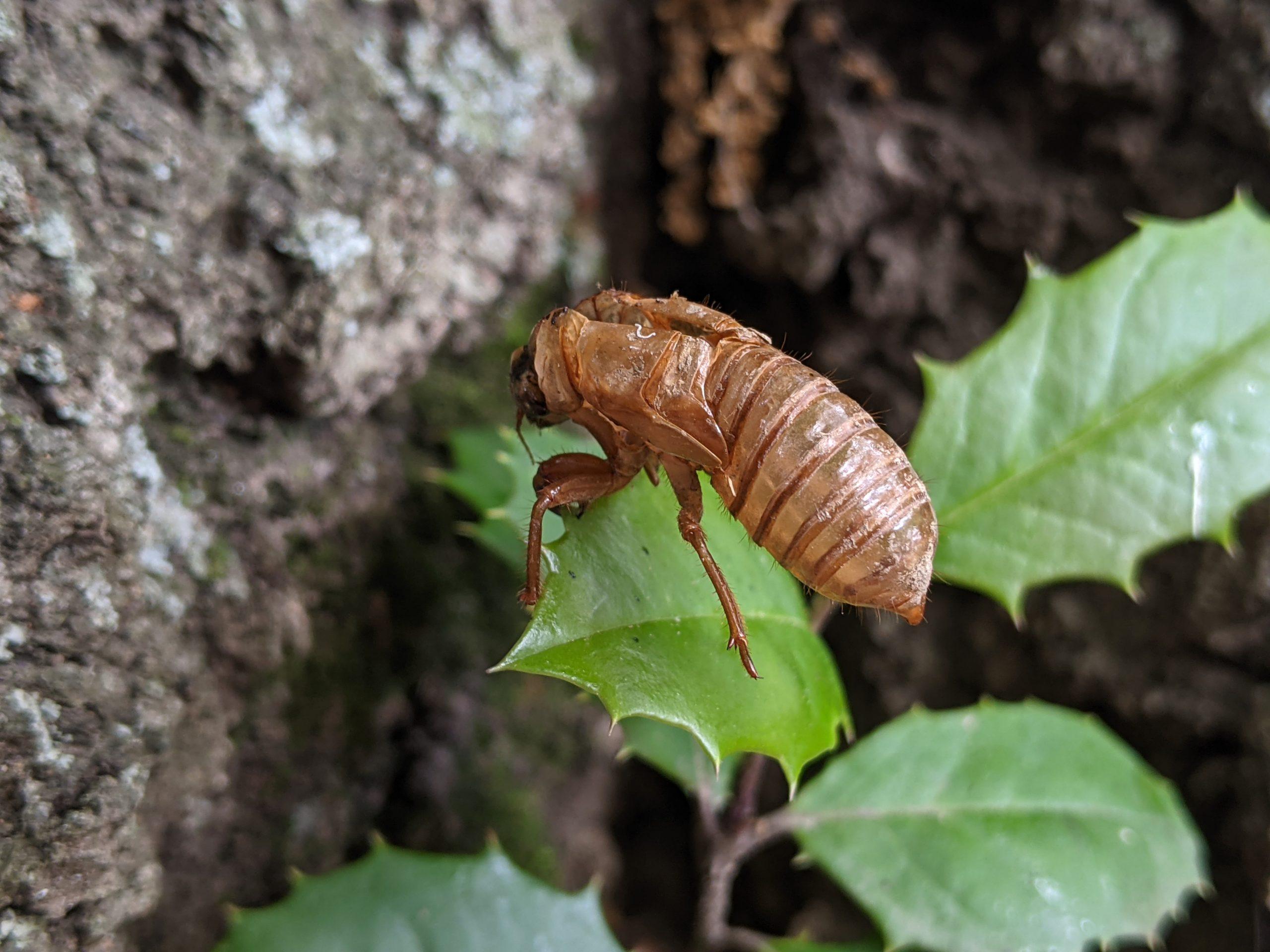 Nymph of a periodical cicada on a green leaf.