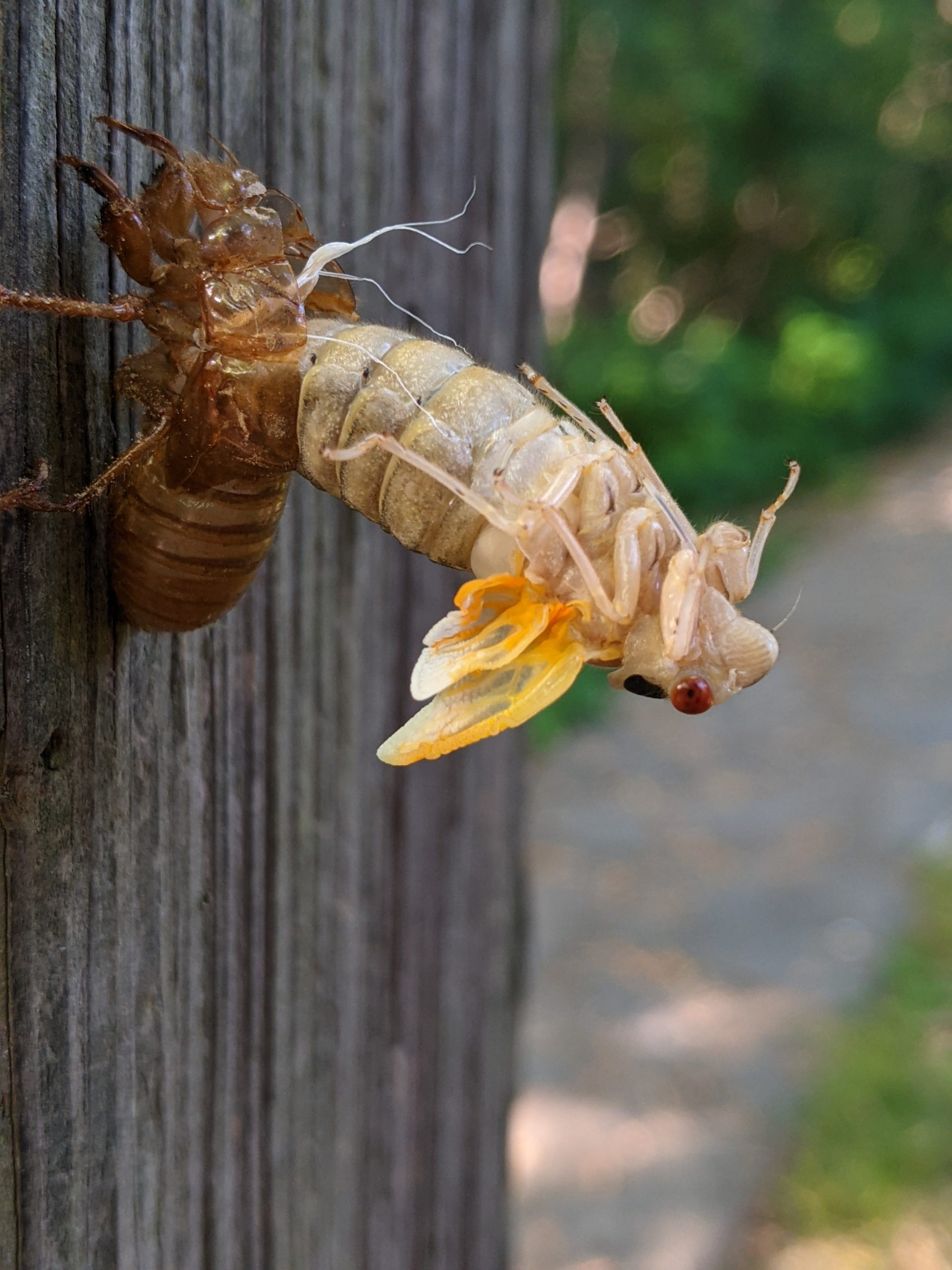 Immature adult periodical cicada emerging from nymph skin.