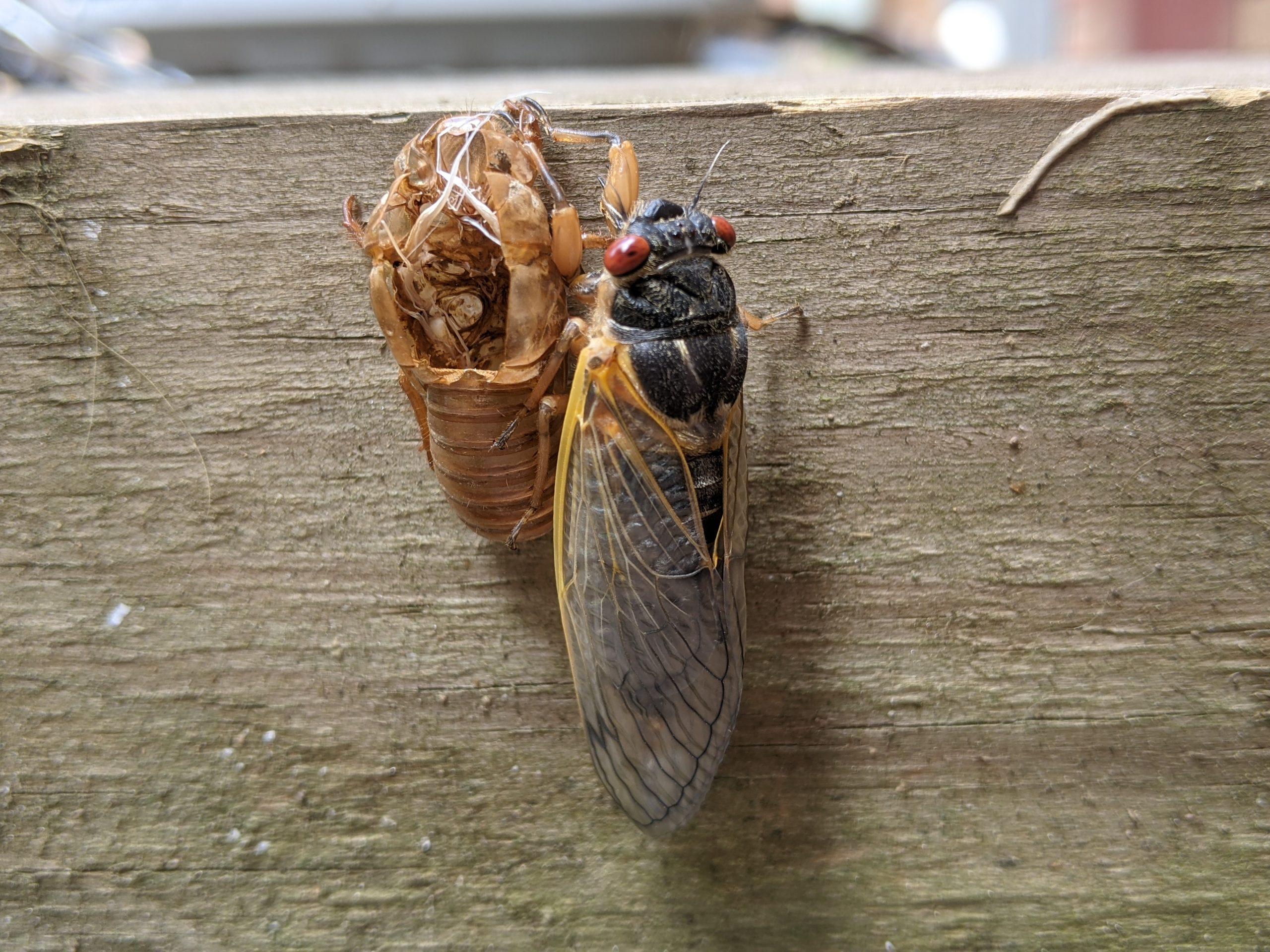 Mature adult periodical cicada next to exuviae.