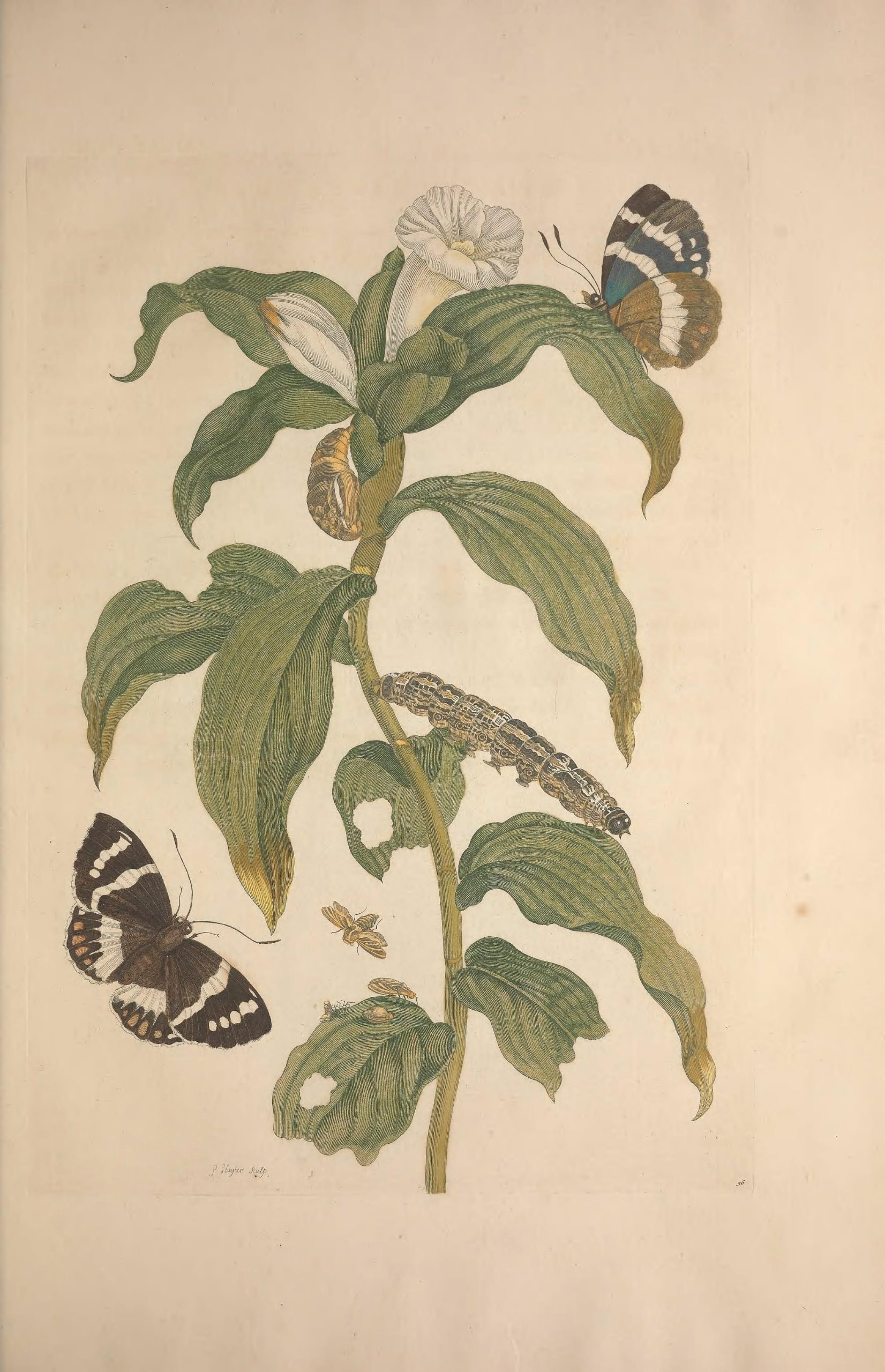 Costus Arabicus, a Banana Stem Borer Moth and an unidentified butterfly. Found in Metamorphosis insectorum surinamensium 1705, plate 36.