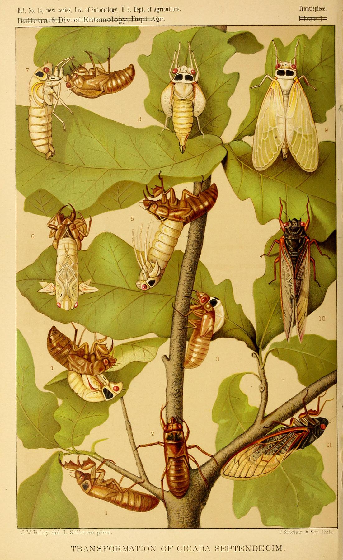 The periodical cicada in various life stages.