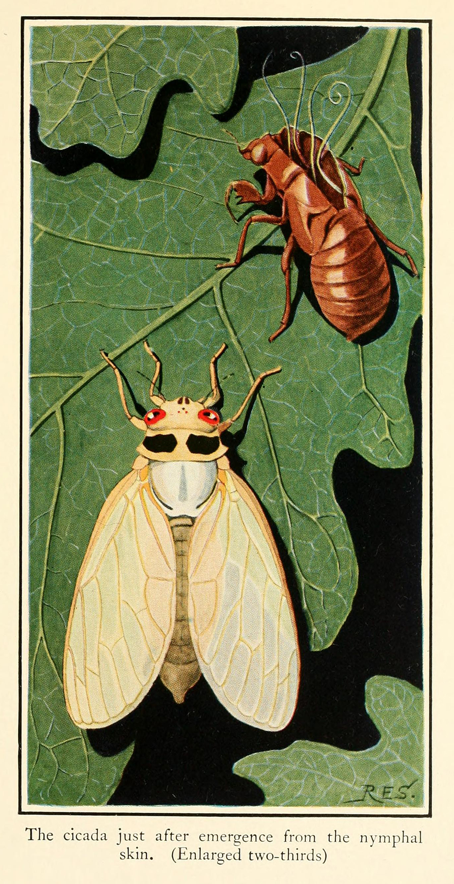 The periodical cicada as an immature adult next to its shed nymphal skin.