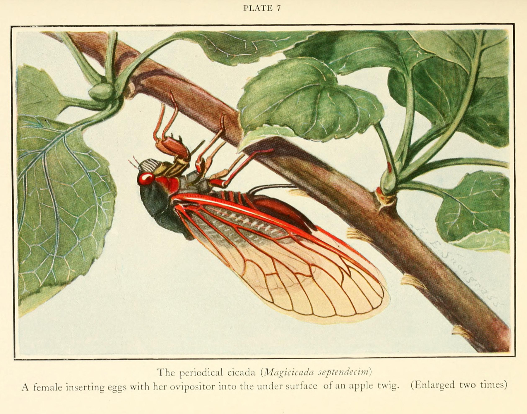 A female periodical cicada inserting eggs with her ovipositor into the under surface of an apple twig.