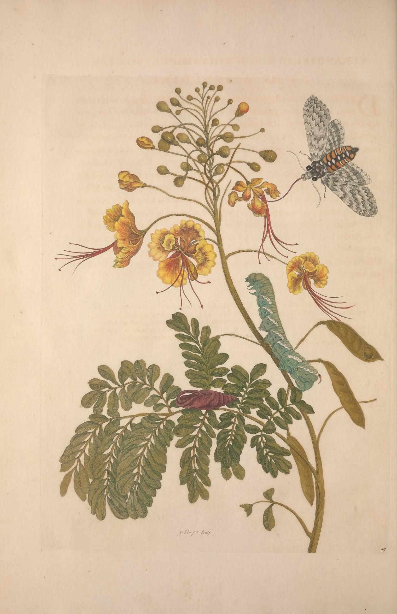 The peacock flower (Caesalpinia pulcherrima) with its seeds and the life cycle of the Caroline Sphinx Moth (Manduca sexta). Found in Metamorphosis insectorum surinamensium 1705, plate 45.