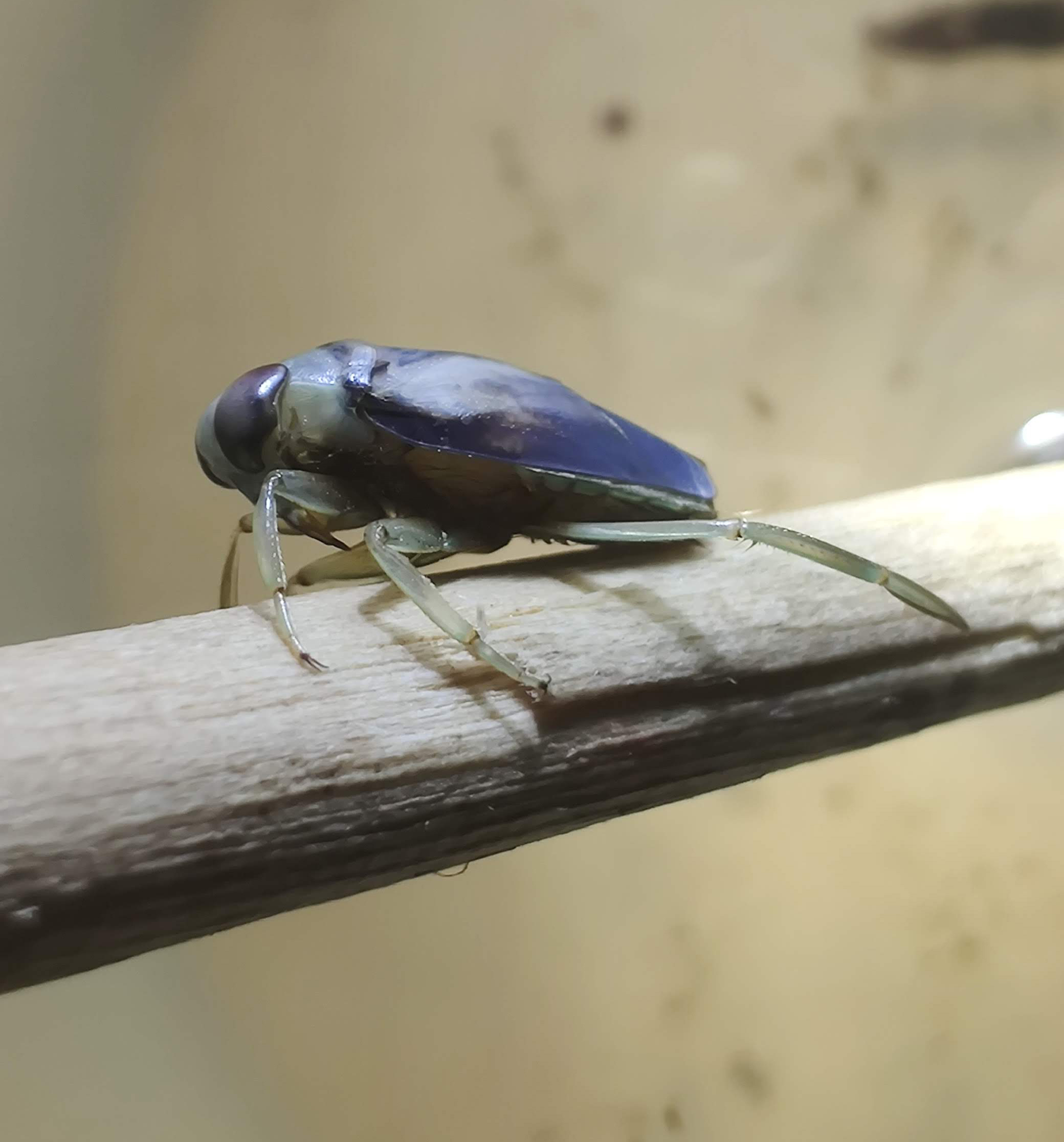 A blue insect with transparent legs perched on a light brown branch.