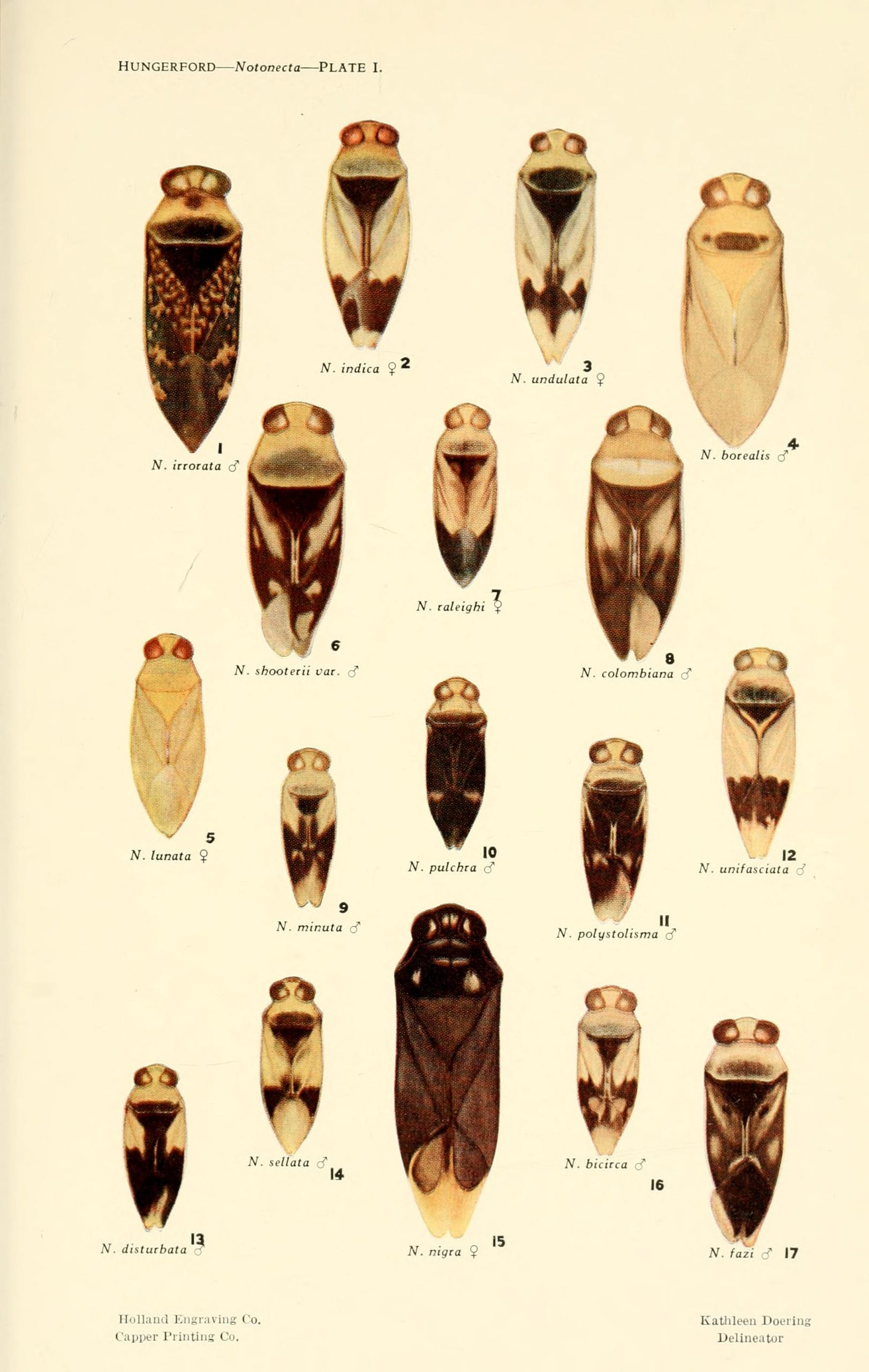 Various species of illustrated insects (Notonecta species)