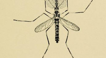 Black and White drawing of a mosquito (yellow fever mosquito (Aedes aegypti))