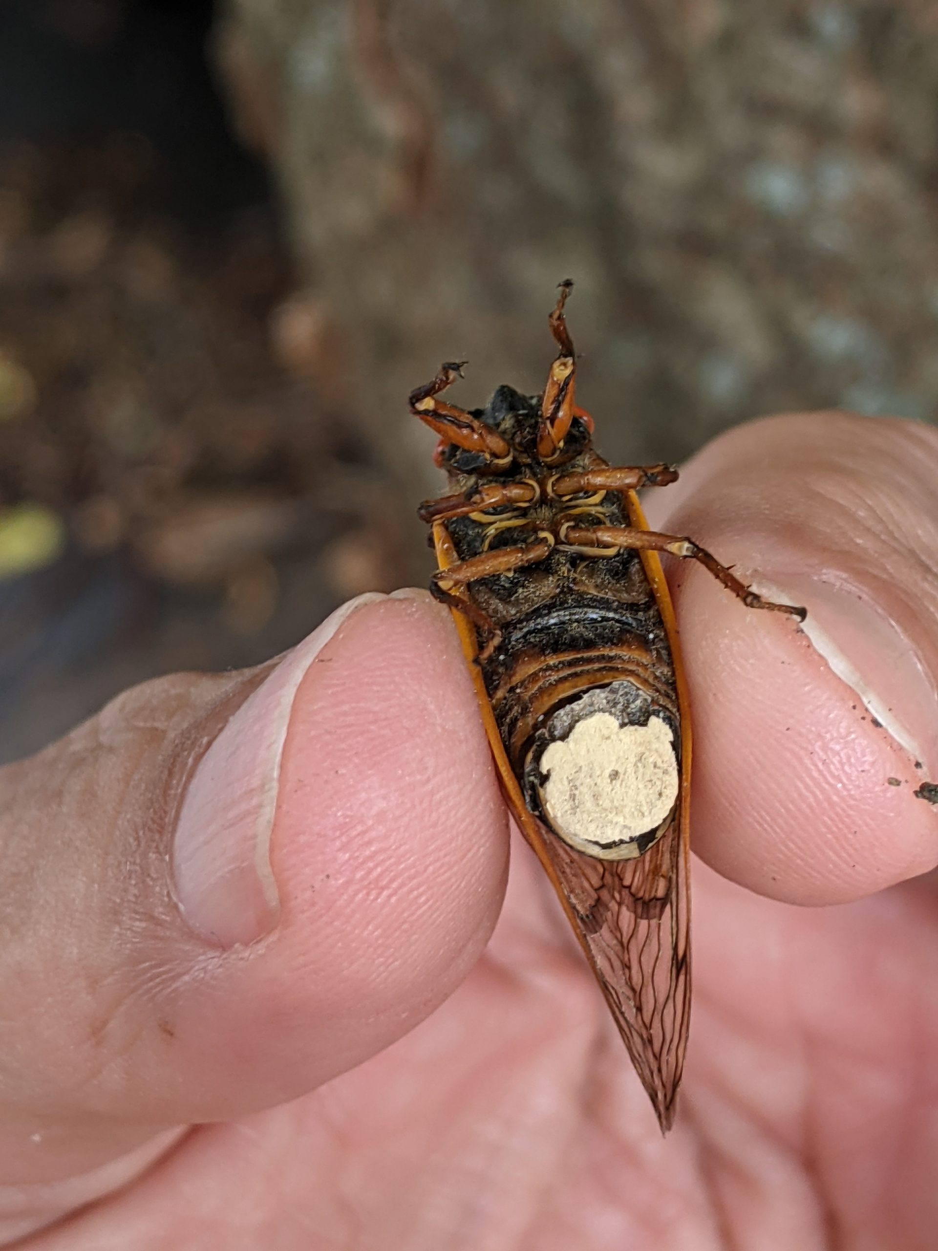 The underside of a cicada with white fungus.