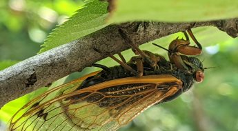 A cicada attached to the underpart of a branch with green leaves in the background.