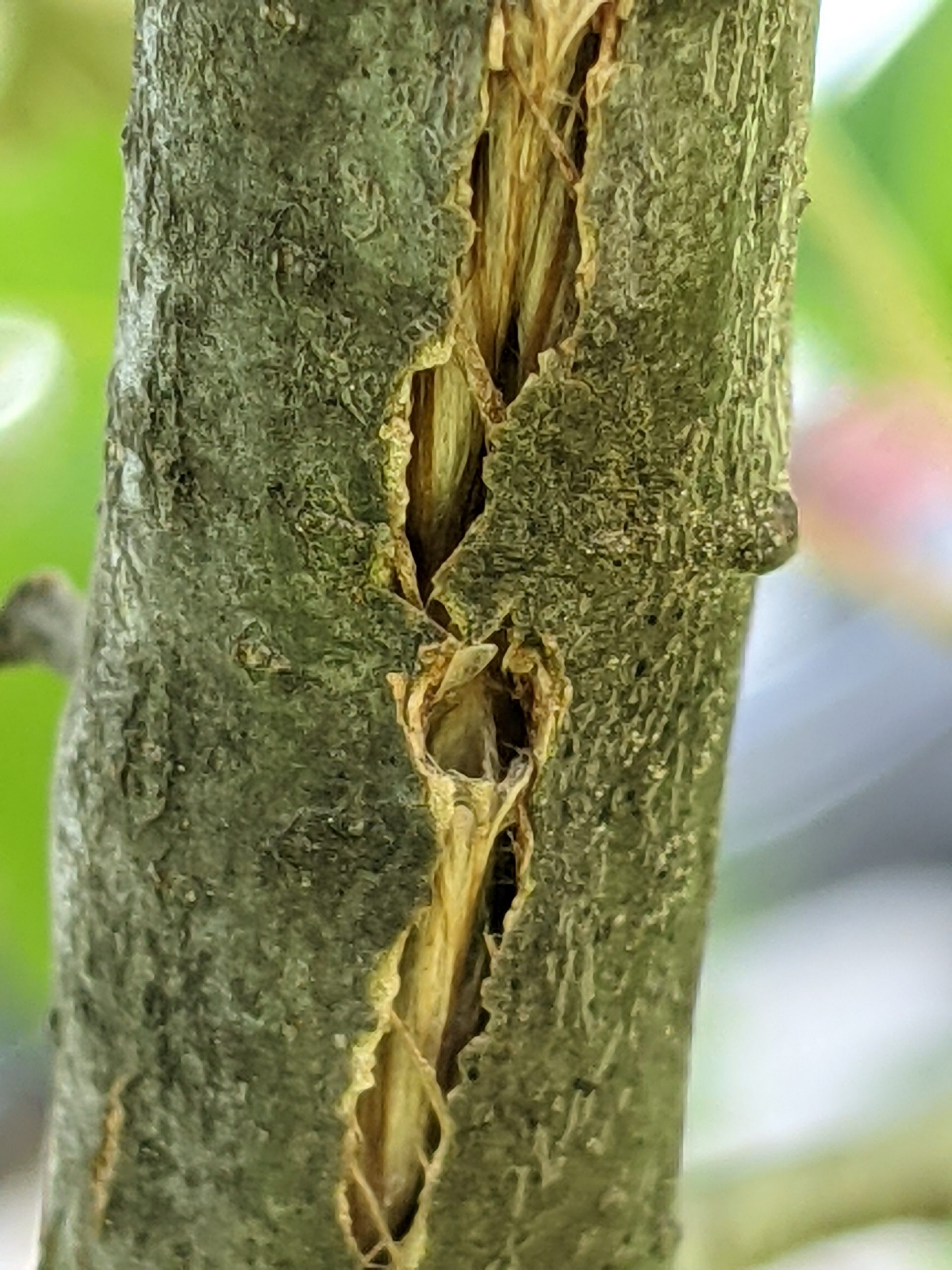Oviposition scars in a tree trunk, made by a cicada.