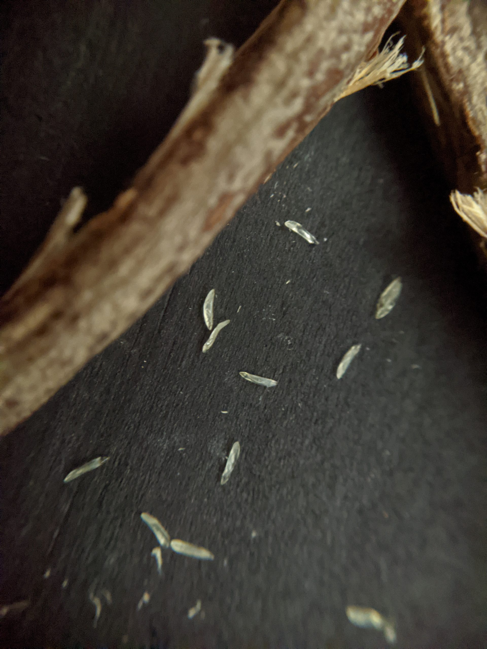 Cicada eggs on a black backdrop next to a branch.