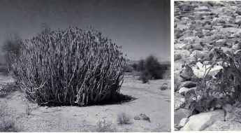 Three separate black and white images of medicinal plants found in Pakistan