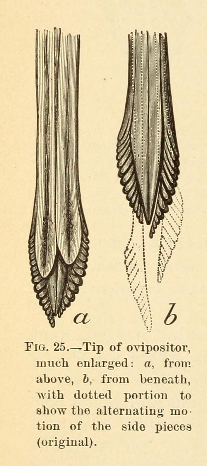 Black and white drawing of a close-up of the ovipositor of a female cicada.
