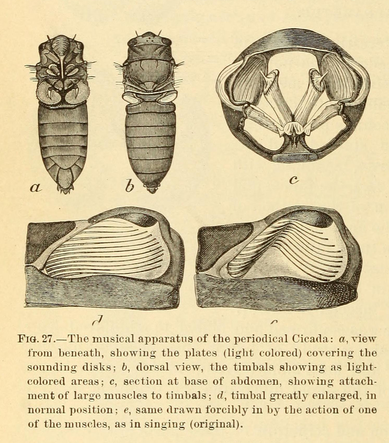 Black and white drawing of the musical apparatus of a cicada.