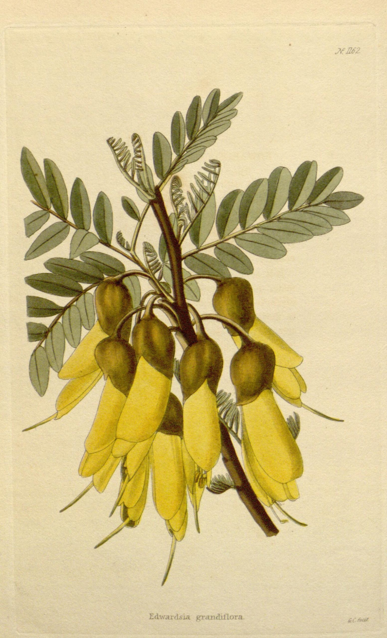 A branch with yellow flowers, Sophora tetraptera, and green leaves