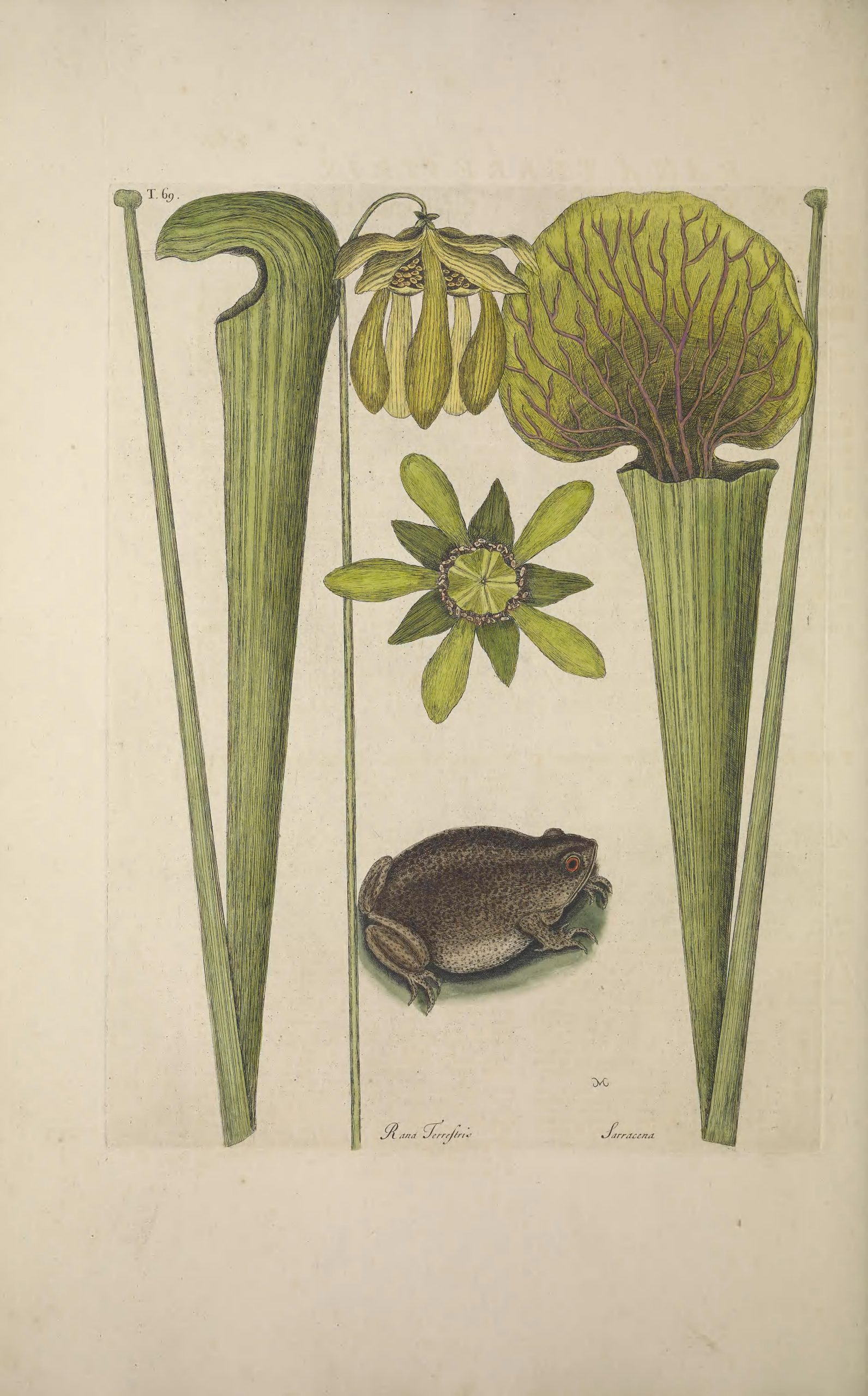 Full color sketch of a pitcher plant including modified leaves and flowering parts, with red-eyed frog beneath