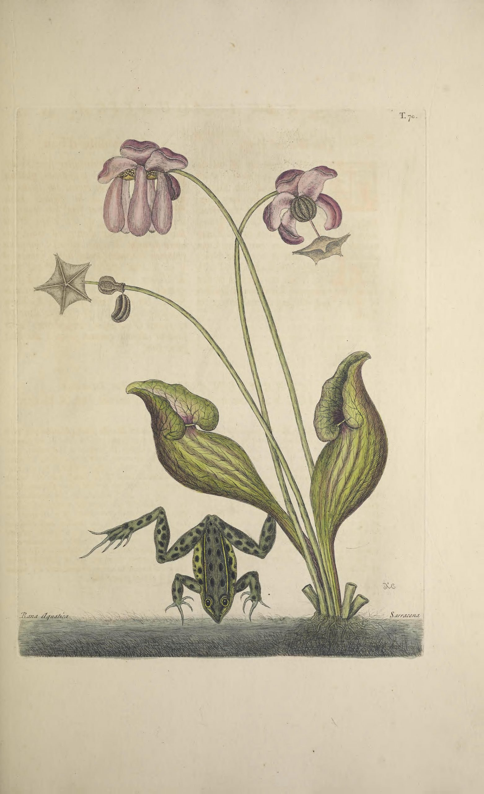 Full color sketch of a pitcher plant including modified leaves and flowering parts, with yellow-striped, black-spotted frog beneath