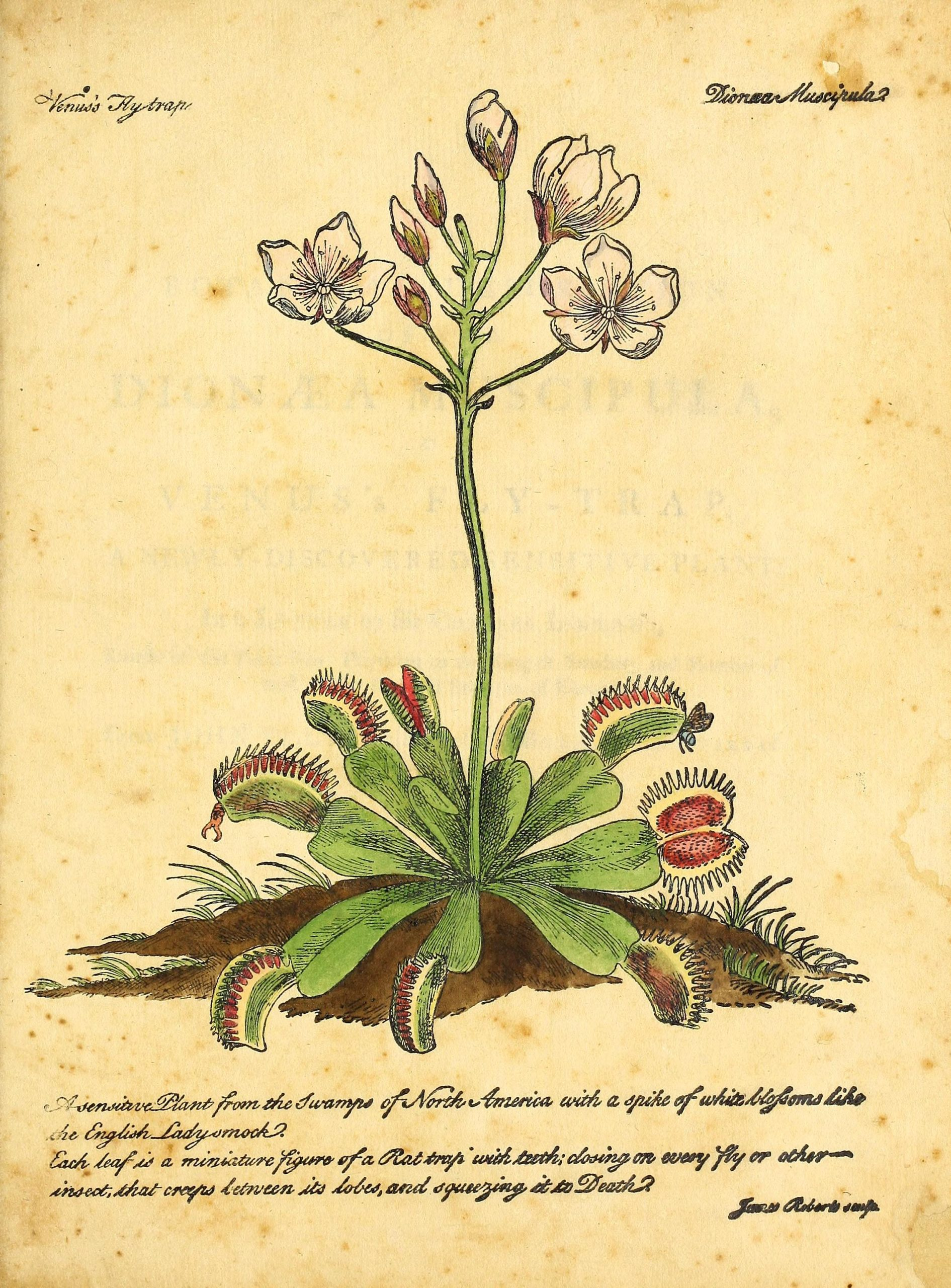 Full color sketch of a blooming Venus flytrap, with white blossoms and red-lined traps catching insects